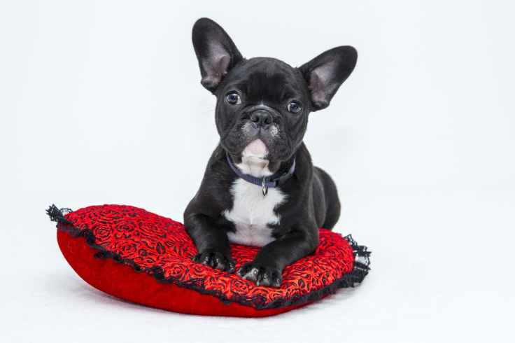 bulldog-puppy-dog-pet.jpg